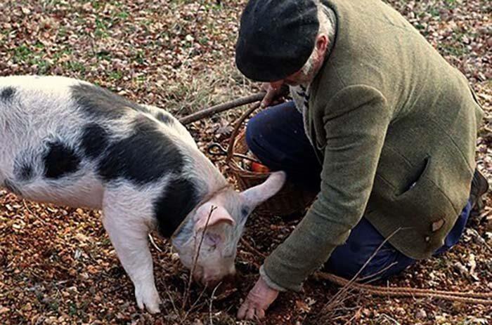Для успешной охоты на черных трюфелей используют свиней и собак.