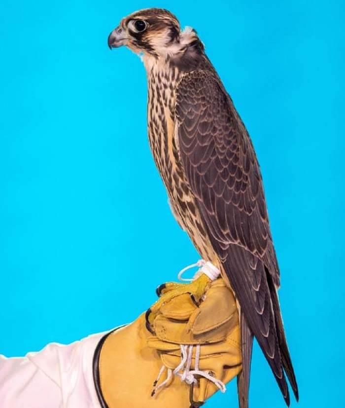 (Сокол, купленный за 173 000 долларов. Фото: Media Center Saudi Falcons Club Auction via REUTERS)